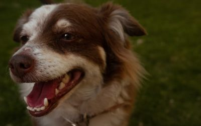 Tips for caring for your dog's teeth